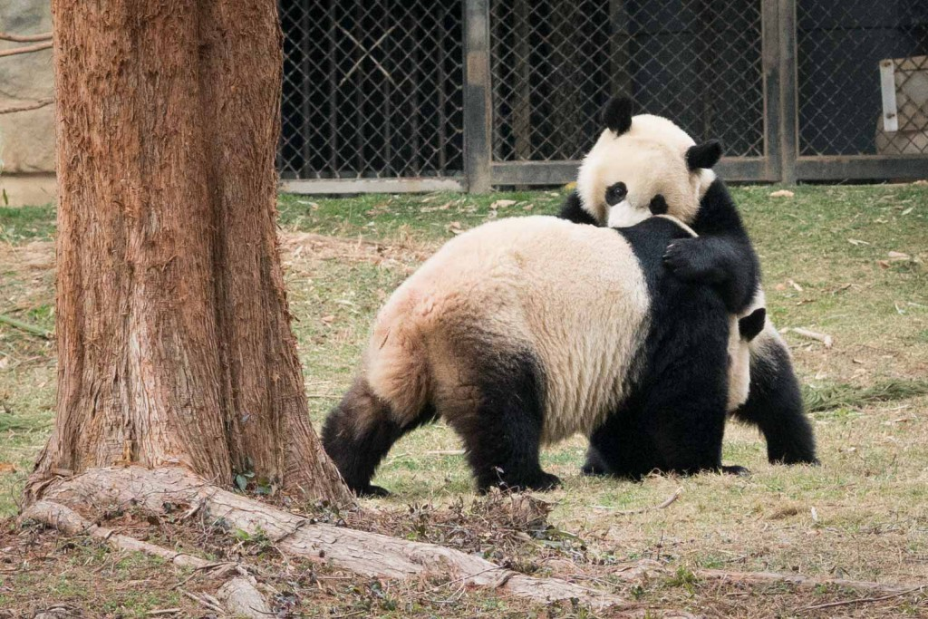 Bei Bei and Mei Xiang