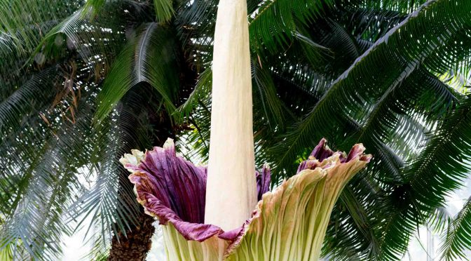 Corpse flowers