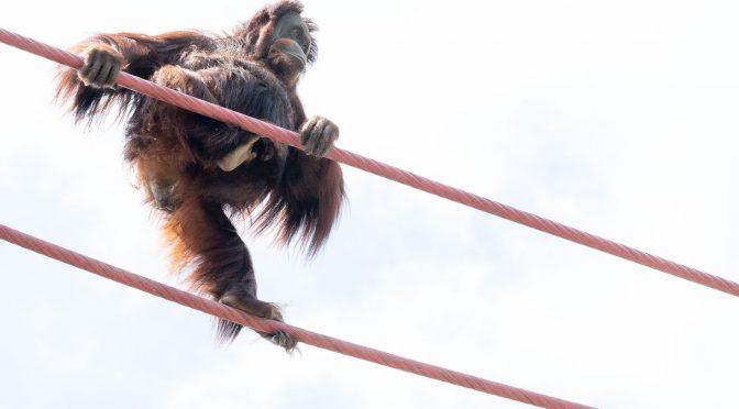 Orangutan crossing
